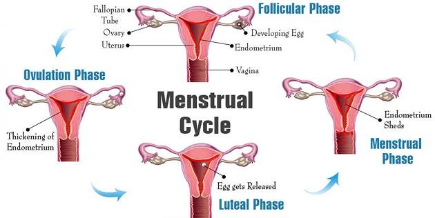 Phases of a menstrual cycle